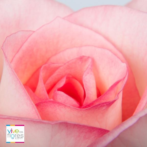 Admiración y Simpatia. Envía rosas de vivelasflores.com cuando quieras expresarlo a tus seres queridos.