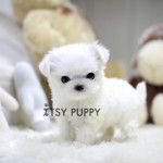 Breeds | Itsy Puppy - Teacup & Micro Teacup Puppies for Sale in California | Domestic Local Breeder for Tiny Teacup Pups for Sale