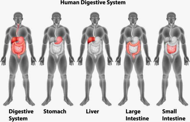 best 25  human digestive system ideas on pinterest