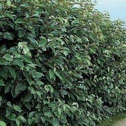 Réaliser sa haie avec l'Eleagnus ebbengei L'Eleagnus ebbingei est un très bel arbuste pour haie : persistant, rustique, de croissance rapide, floraison parfumée, très résistant à la sécheresse. Que de qualités !La distance entre les plants d'Eleagnus ebbingei doit être de 0,80m.On peut planterl'Eleagnus ebbengei seul, en haie libre ou taillée, ou en mélange avec d'autres arbustes commeles Photinia, lauriers tins, troènes, cotoneaster ... Vous souhaitez des plants un pe...