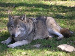 125 wolf names