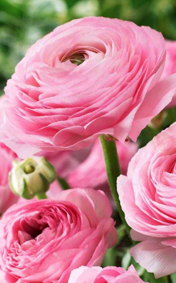 ~~Rose Ranunculus | Willemse France~~