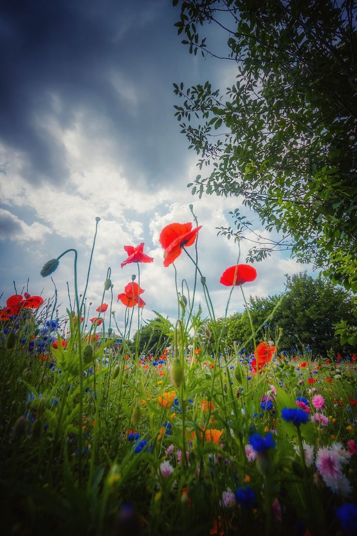 best coquelicots images on pinterest poppies red poppies and