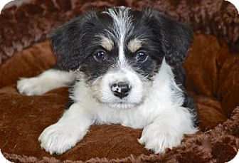 Los Angeles, CA - Poodle (Miniature)/Chihuahua Mix. Meet Pepper, a puppy for adoption. http://www.adoptapet.com/pet/15060862-los-angeles-california-poodle-miniature-mix