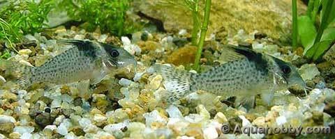 BLACK SAIL CORY Fresh Water Fish Pinterest