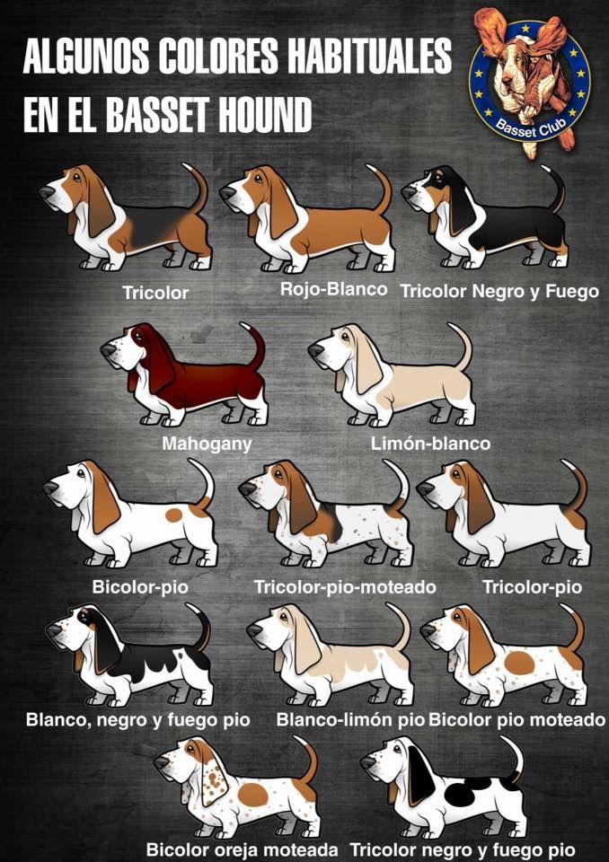 Basset Basset Hound Funny Basset Hound Puppy Basset Hound Dog
