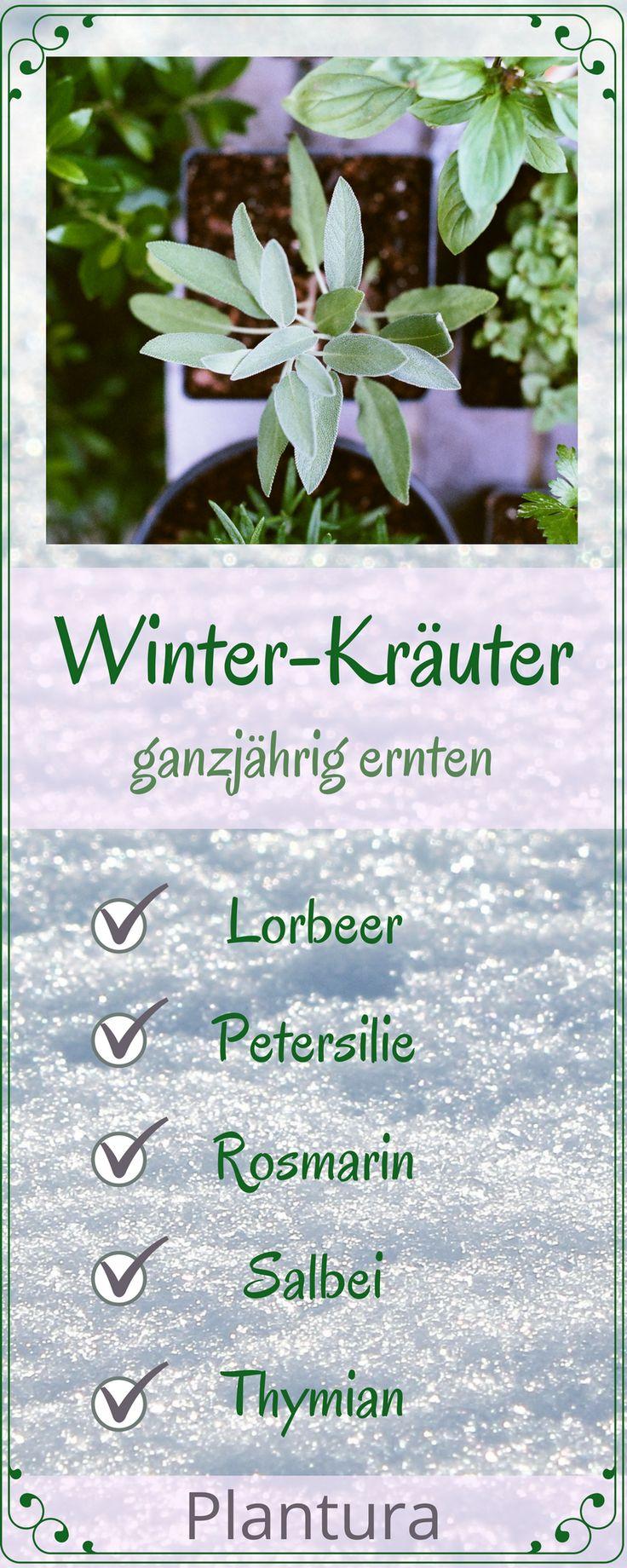 Folgende Kräuter können auch im Winter ohne Verlust an würzigem Aroma aus dem Beet geerntet werden. Mehr zum Anbau und derPflege findet Ihr auf Plantura! #Winter #Kräuter #Garten