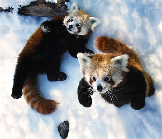 Aninimal Book: 69 best Red Pandas images on Pinterest | Red pandas, Saint ...