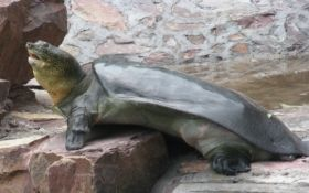The Yangtze Giant Softshell Turtle Just Got 25 Percent Closer to Extinction - Scientific American Blog Network