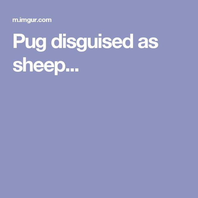 Pug disguised as sheep...