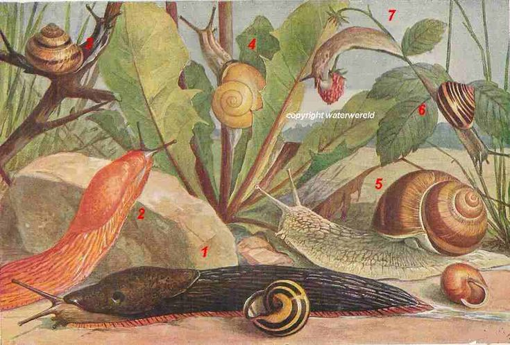 tiger snail (1), great red slug (2), brown lipped snail (3), wood snail (4), edible snail (5), White-lipped snail (cepaea hortensis) (6)