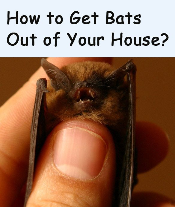 How To Get Bats Out Of Your House Best Way To Trapping Bats In