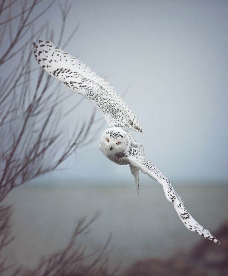"expression-venusia: ""Snowy Owl In Flight Expression """
