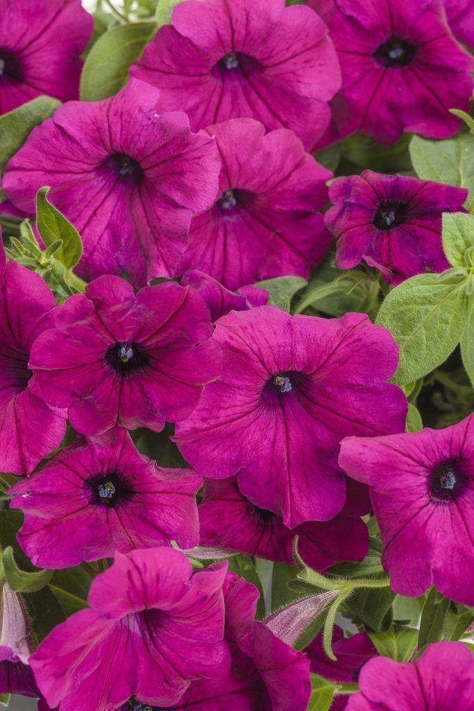 Get Stunning Petunia Blooms In Your Full Sun Garden Annual Flowers Petunias Flower Landscape
