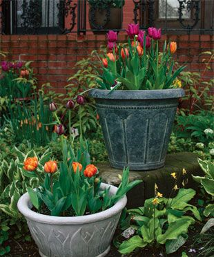 How to Plant Tulips in Pots. (Why didn't I think of this?)