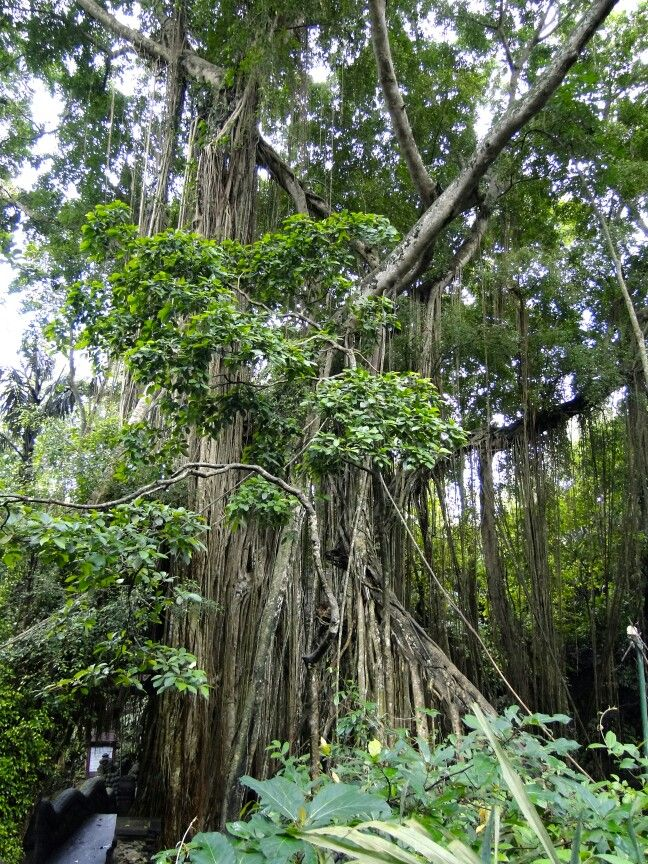 Tree in Indonesia