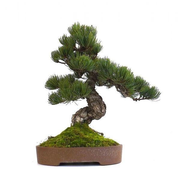 vente de bonsai pinus pentaphylla pin blanc du japon 40 cm ppjp130902 sankaly bonsa boutique. Black Bedroom Furniture Sets. Home Design Ideas
