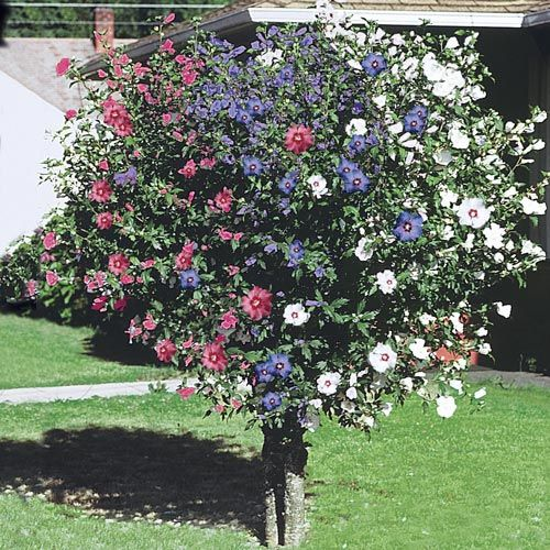 Front Yard Landscaping Ideas Wisconsin Blandscapingb Bb: 3-In-1 Rose Of Sharon