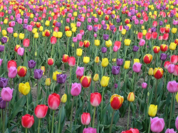 お花畑に行こう!かみゆうべつチューリップ公園でオランダ気分 | kazoku time