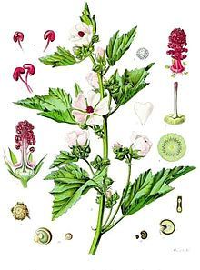 Althaea officinalis - the marshmallow plant...very interesting.  Used originally as a treatment for sore throats, for irritation of mucous membranes, as a gargle for mouth and throat ulcers, and to increase the flow of breast milk.  wow...who knew?
