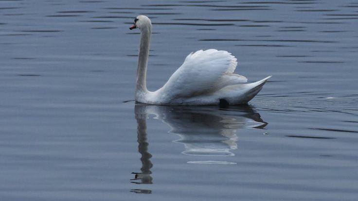 Наблюдение за птицами. Пеннингтон Флаш. Англия.