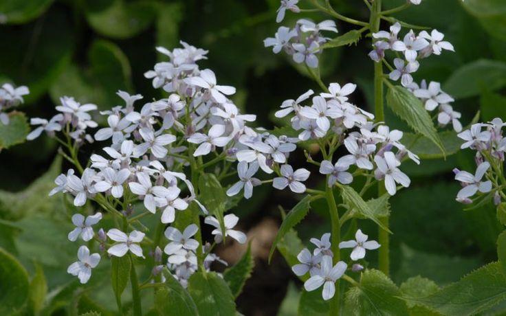 Lunaria rediviva - Mondviole, Ausdauerndes Silberblatt