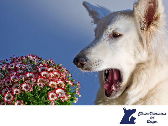 Los perros también pueden ser alérgicos al polen. LA MEJOR CLÍNICA VETERINARIA DE MÉXICO. Algunos de los síntomas más comunes de alergia al polen en perros, son la aparición de manchas rojas en la piel, así como comezón constante. Si notamos que se rascan con desesperación, es importante revisarlos, traerlos para realizar el diagnóstico y tratamiento ideal. En Clínica Veterinaria del Bosque, contamos con médicos veterinarios especialistas para atender la salud de tus mascotas…
