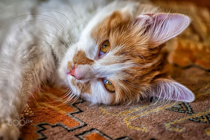 Orange Cat - Portrait of a beautiful orange  cat chilling out on the Persian rug