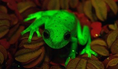 La découverte d'une espèce de grenouille verte fluorescente vivant dans les forêts d'Amérique du sud, représente le premier cas de batraciens fluorescents au monde, ouvrant de nouvelles perspectives à la science.