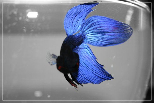 15 best images about betta fish on pinterest pictures of for Blue betta fish