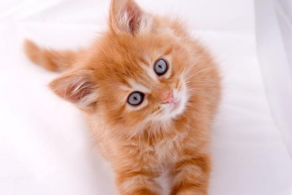 Como os gatos enxergam?. Os olhos dos gatos são semelhantes aos das pessoas mas a evolução fez com que a sua visão esteja focada em melhorar a atividade de caçar destes animais, predadores...