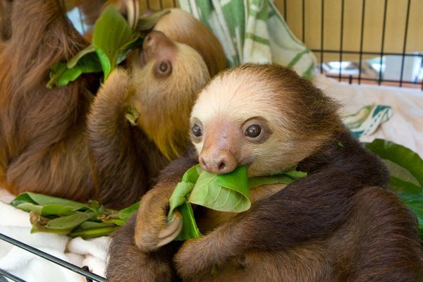 Strange Animal Friends National Geographic | Two-toed sloth juveniles munch on leaves at a sanctuary in Costa Rica.
