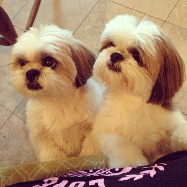 shih-tzu cuties - I'll take two!