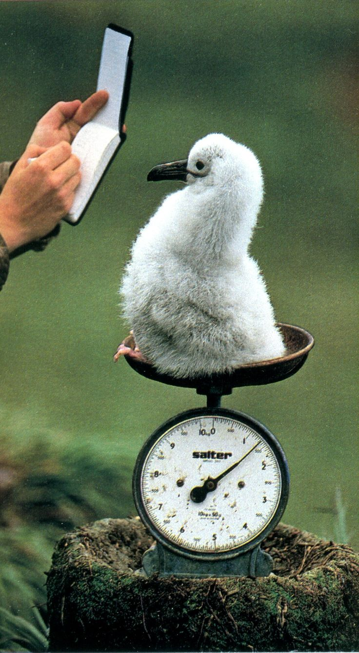 "theshinyboogie: "" Frans Lanting: A baby albatross is weighed in South Georgia, 1989 """