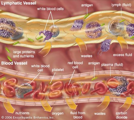 extracellular fluid: lymphatic vessel and blood vessel