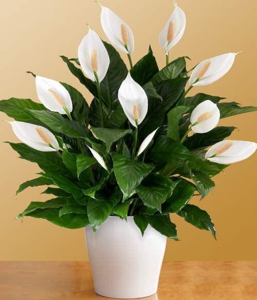 Peace lily's flowers boost humidity. This eliminates airborne allergens. The moisture emitted by her blooms relieves an irritated nose and throat. Peace lily reduces mold spores by 60 percent. Her leaves absorb the spores, then transport them to her roots for food. Peace lily filters toxic chemicals present in grooming products. When peace lily is happy, she waves white flower flags.