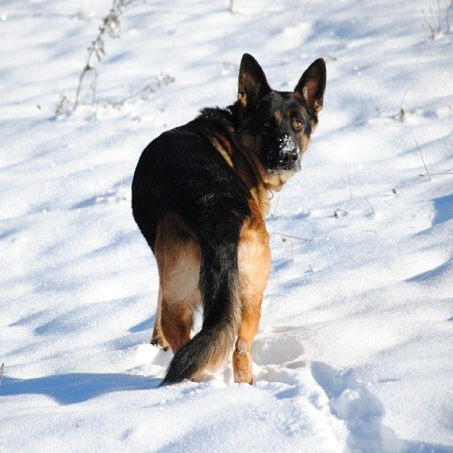 2326 best images about German Shepherd Dog on Pinterest ...