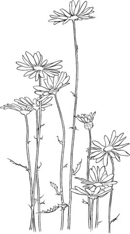 Marguerite commune Coloriage