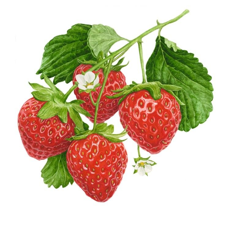 Shiny, juicy strawberries are one of my painting obsessions!