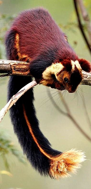 Malabar Giant Squirrel - a truly gorgeous specimen! (Feelin' Squirrely group board)