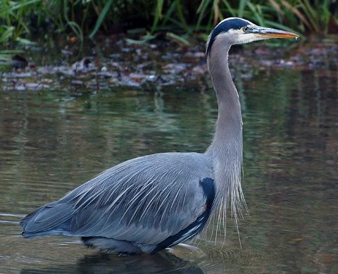 Большая голубая цапля (Ardea herodias)