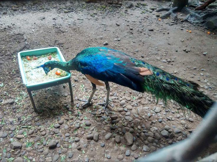 Burung Merak Kebun Binatang Ragunan