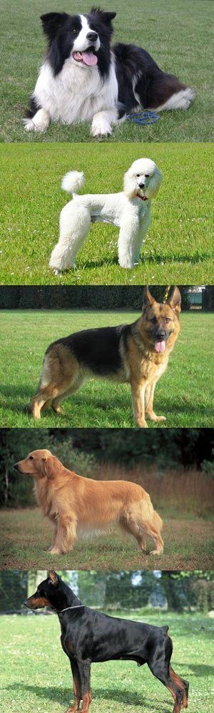 Cinque razze di cani intelligenti.