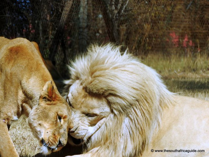 Lion love #Southafrica