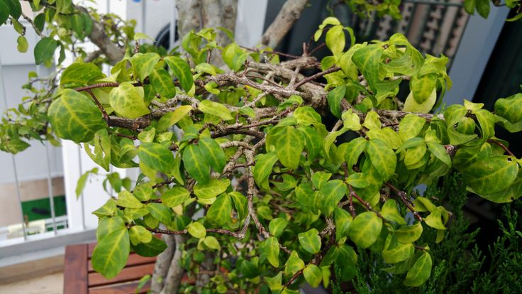 Iron chlorosis affects many kinds of plants and can be frustrating for a gardener. An iron deficiency in plants causes unsightly yellow leaves and eventually death. Get more info from this article.