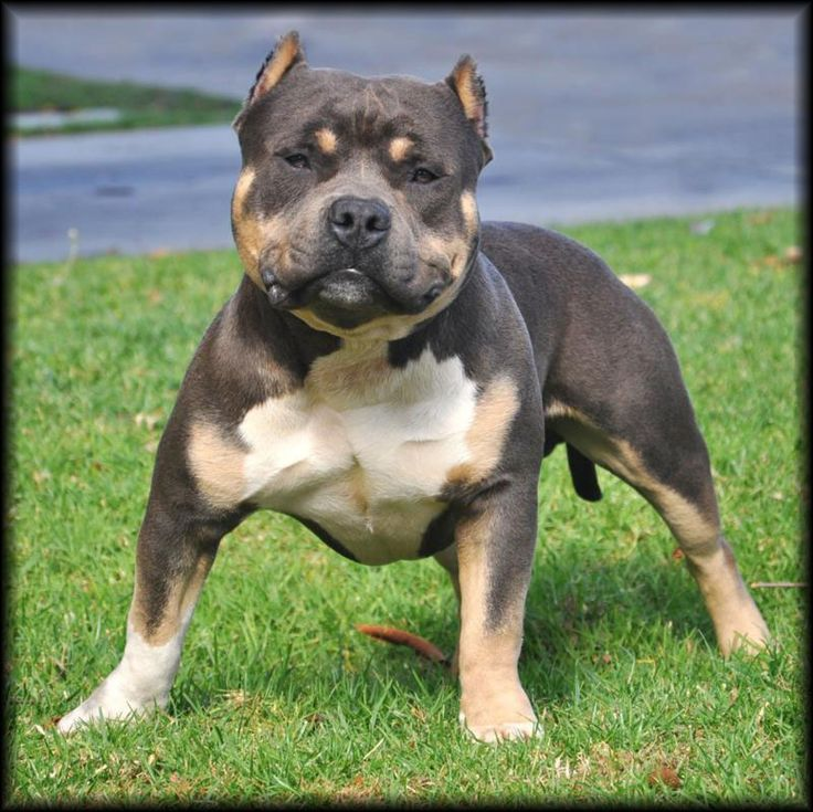 pitbull dogs | Tri Color Pitbull - Eternal Doom - Tricolor ...