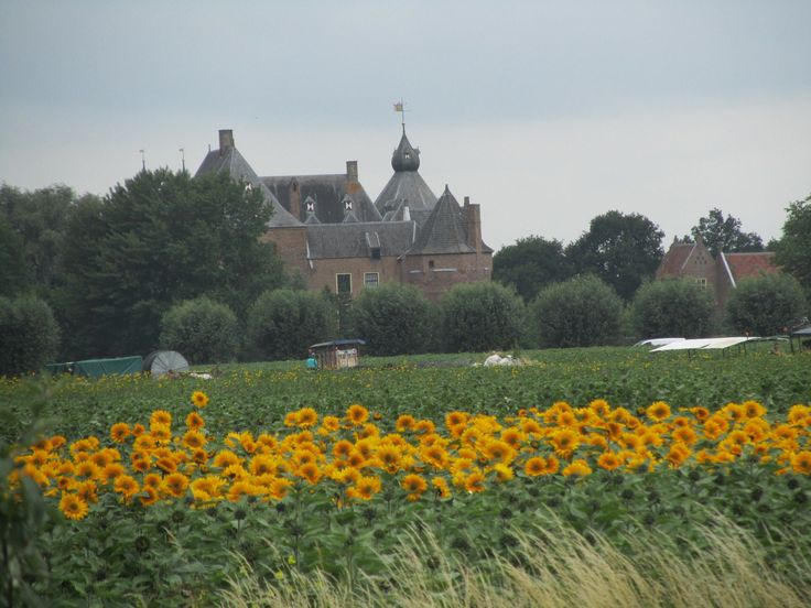 Sunflowers in Holland