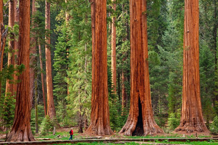 Mariposa Grove (EE UU): El paraíso de las secuoyas gigantes.   Estos colosales árboles nos obligan a levantar la mirada hacia las nubes para poder localizar su terminación. Son árboles que han visto pasar los siglos de historia ante ellos: algunos superan los 3.000 años de vida. Los hay que llegan a medir 100 metros de altura y 7 metros de diámetro. Imposibles de abrazar.