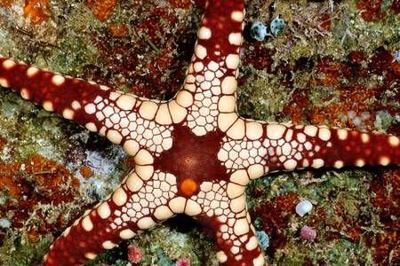 Asteroidea Starfish | life of sea starfish asteroidea starfish or sea stars are echinoderms ...