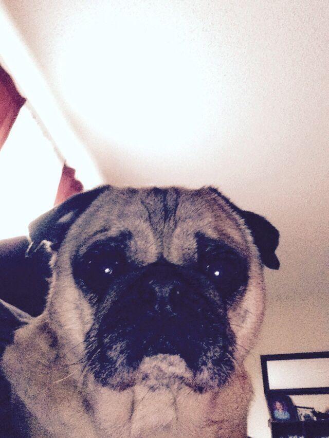 This is Otis my pug